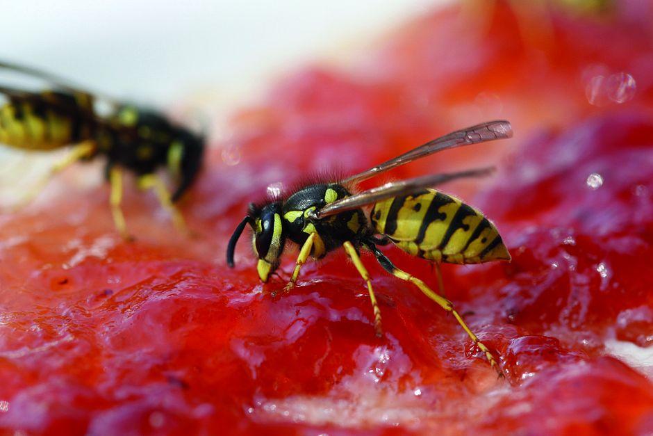 txn-p. Ob Marmeladenbrot oder Grillbuffet: Wo Menschen im Freien essen, sind Wespen meist nicht weit - zumindest im Sommer. Um nicht gestochen zu werden, ist es wichtig, ruhig zu bleiben. Foto: digitier/Panthermedia/Barmenia Ein Allergie-Notfallset für Bienen- und Wespenstiche besteht aus verschiedenen Medikamenten. Neben Kortison und einem Antihistaminikum in flüssiger Form enthält es ein Präparat mit Adrenalin, das sich der Patient selbst in den Oberschenkel spritzen kann - oder jemand anders übernimmt das. Weil die Wirkung sofort einsetzt, ist das Medikament für Betroffene lebensrettend.